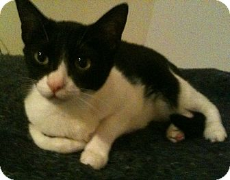 Domestic Shorthair Cat for adoption in Tracy, California - Camry-ADOPTED!