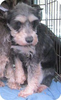 Schnauzer (Miniature) Dog for adoption in Oak Ridge, New Jersey - Gretchen