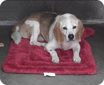 Beagle Dog for adoption in Creston, California - Myles