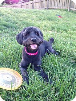 Terrier (Unknown Type, Medium)/Labrador Retriever Mix Dog for adoption in Hilliard, Ohio - Smokey