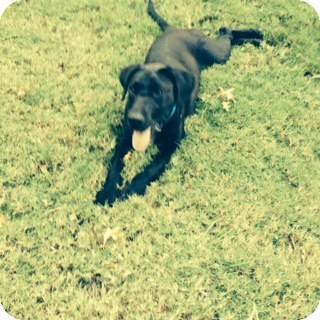 Labrador Retriever Mix Dog for adoption in Bedminster, New Jersey - ANNA