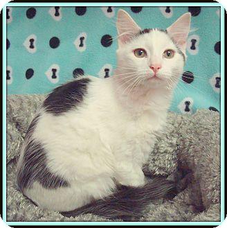 Domestic Shorthair Cat for adoption in Glendale, Arizona - Denahi