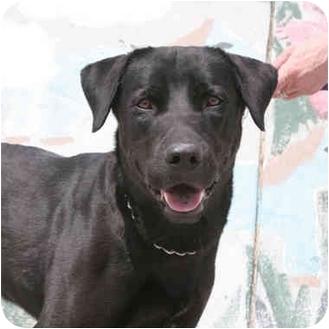 Labrador Retriever Mix Dog for adoption in Denver, Colorado - Fletcher