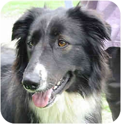 Border Collie/Collie Mix Dog for adoption in Stephentown, New York - Sasha