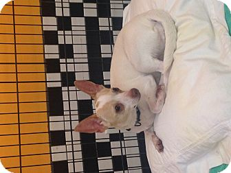 Chihuahua Mix Dog for adoption in Boca Raton, Florida - Cutie