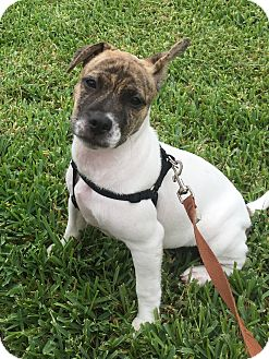 Jack Russell Terrier/Terrier (Unknown Type, Medium) Mix Puppy for adoption in Portland, Oregon - Anna