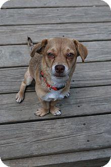 Pug/Beagle Mix Dog for adoption in Berea, Ohio - Celeste
