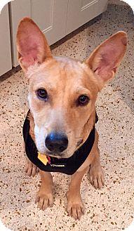 Shiba Inu/Labrador Retriever Mix Dog for adoption in West Palm Beach, Florida - Baby Girl