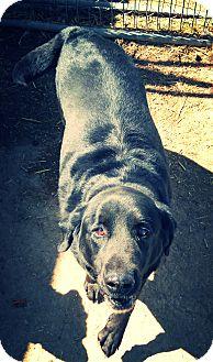 Labrador Retriever Mix Dog for adoption in Odessa, Texas - Wesson