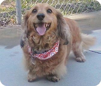 Dachshund Dog for adoption in Burgaw, North Carolina - Gabriella