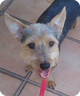 Silky Terrier/Schnauzer (Miniature) Mix Dog for adoption in Alstead, New Hampshire - KOBBIE