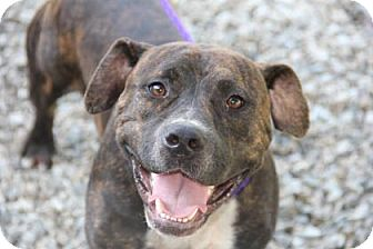 Pit Bull Terrier Mix Dog for adoption in Greensboro, North Carolina - Boss