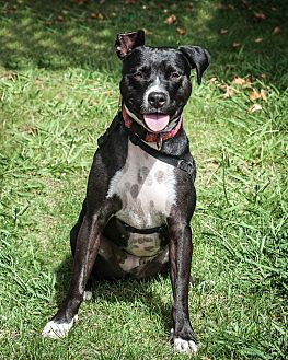 Pointer Mix Dog for adoption in St Helena, California - Vanna