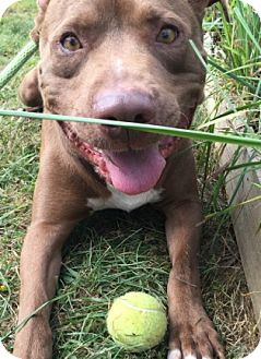 Pit Bull Terrier Mix Dog for adoption in Newland, North Carolina - Matrix