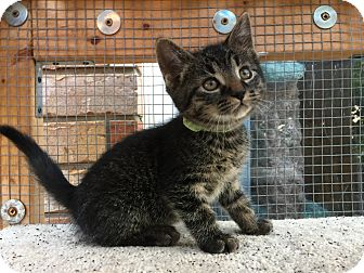 Domestic Mediumhair Kitten for adoption in Burlington, Ontario - Twister