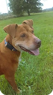 American Staffordshire Terrier/Labrador Retriever Mix Dog for adoption in South Haven, Michigan - Baby Girl