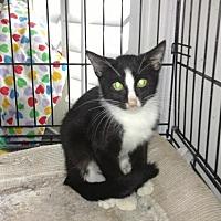 Domestic Mediumhair Cat for adoption in Atlanta, Georgia - Wally