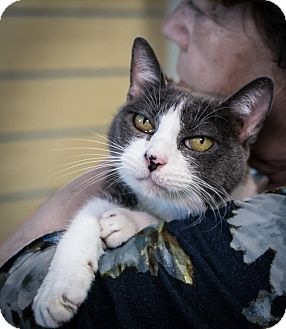 Domestic Shorthair Cat for adoption in Houston, Texas - Rita