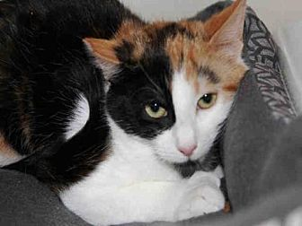 Domestic Mediumhair Cat for adoption in Hampton Bays, New York - JOY