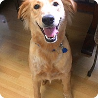 Adopt A Pet :: Sherbet in CT - Manchester, CT