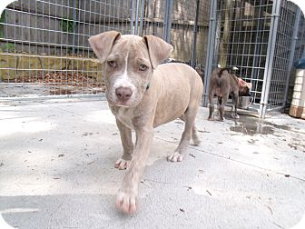 Pit Bull Terrier/Labrador Retriever Mix Puppy for adoption in Worcester, Massachusetts - BluE
