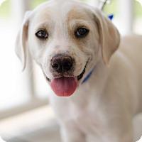 Adopt A Pet :: Odysseus $250 - Seneca, SC