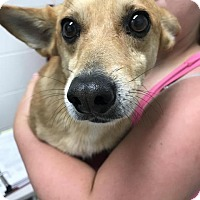 Chihuahua/Corgi Mix Dog for adoption in Fayetteville, West Virginia - Bullet
