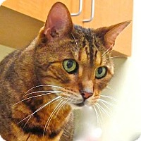 Adopt A Pet :: Ramses - Davis, CA