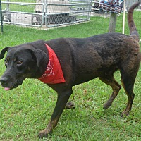 Labrador Retriever Mix Dog for adoption in Manning, South Carolina - Zeus