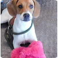 Adopt A Pet :: Lacey - Alpharetta, GA