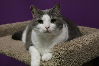 Domestic Shorthair Cat for adoption in Herndon, Virginia - Gracie