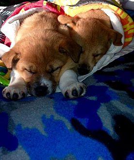 Australian Cattle Dog/Shepherd (Unknown Type) Mix Puppy for adoption in House Springs, Missouri - Nala