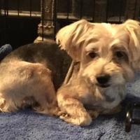 Adopt A Pet :: Shorty - Irmo, SC