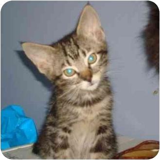 Domestic Shorthair Kitten for adoption in Shelton, Connecticut - Stevie