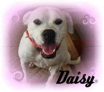 American Bulldog Mix Dog for adoption in salisbury, North Carolina - Delightful Daisy