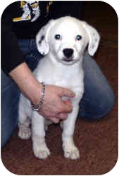 Border Collie Mix Puppy for adoption in Lonedell, Missouri - Luca