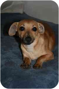 Dachshund/Chihuahua Mix Dog for adoption in Vancouver, British Columbia - Otter - Pending