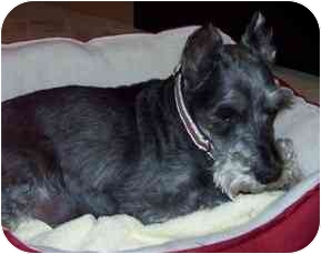 Schnauzer (Standard) Mix Dog for adoption in Wilmington, Massachusetts - Charlie
