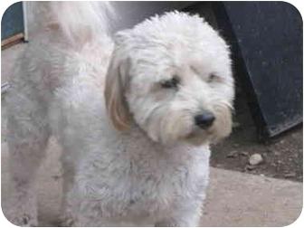 Cockapoo Dog for adoption in Whittier, California - Roger