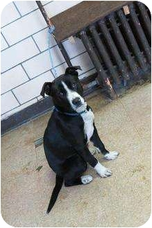Border Collie/Terrier (Unknown Type, Medium) Mix Dog for adoption in Chicago, Illinois - Baron