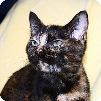 Domestic Shorthair Cat for adoption in South Haven, Michigan - Tasha