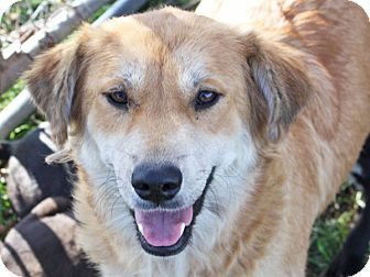 Golden Retriever Mix Dog for adoption in Marion, Arkansas - Jessie