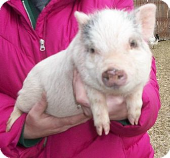 Pig (Potbellied) for adoption in Liberty Center, Ohio - Willa