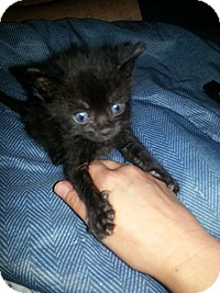 Domestic Shorthair Kitten for adoption in Tampa, Florida - Stanley