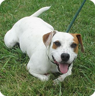 Blue Heeler/American Bulldog Mix Dog for adoption in Bedminster, New Jersey - BUSTER