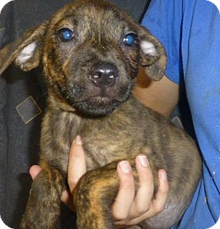 Pit Bull Terrier Mix Puppy for adoption in Oviedo, Florida - Tommy
