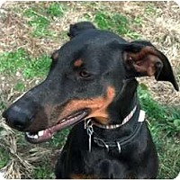 Adopt A Pet :: Dixie--adopted!! - New Richmond, OH