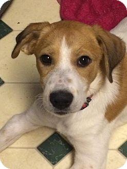 Beagle/Labrador Retriever Mix Puppy for adoption in Bedminster, New Jersey - Lexi Lovebug