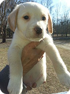 Labrador Retriever/German Shepherd Dog Mix Puppy for adoption in Allentown, Pennsylvania - Cappy
