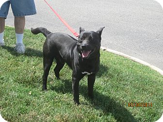 Labrador Retriever/Pit Bull Terrier Mix Dog for adoption in Chesterfield, Virginia - Glock